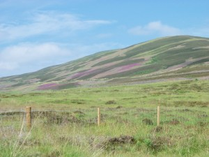 A carpet of purple heather